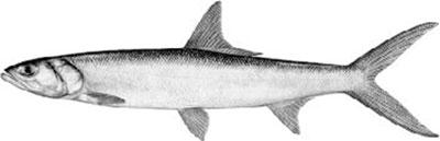 ladyfish panama fishing