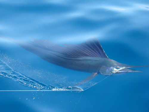 sailfish panama gamefish