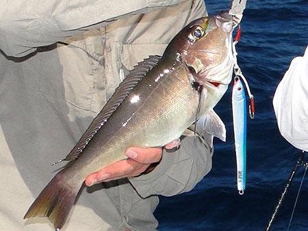 Tilefish coiba island fishing
